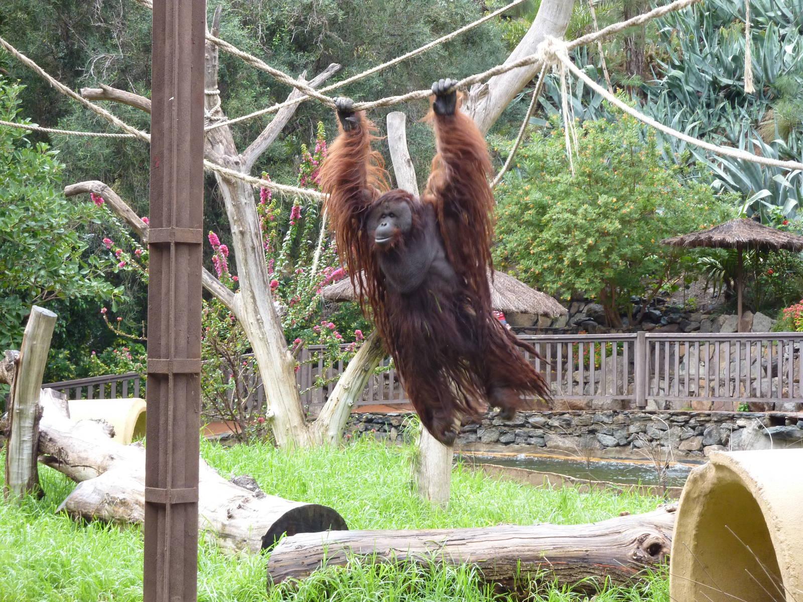 Фото примата в Пальмитос парке на Гран Канарии