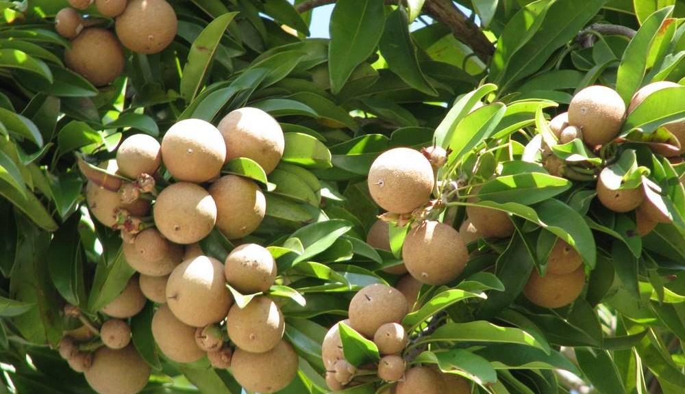 Фото дерева Саподилла в Ботаническом саду Тенерифе