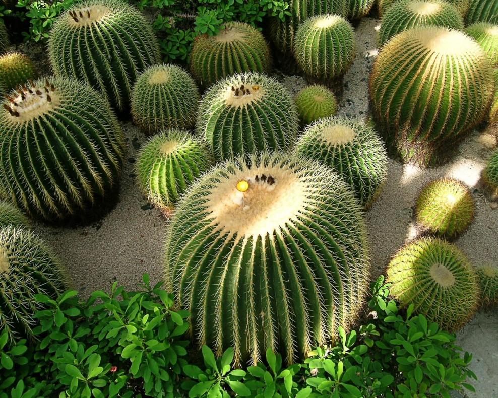 Фото кактусов в Парке Обезьян Тенерифе