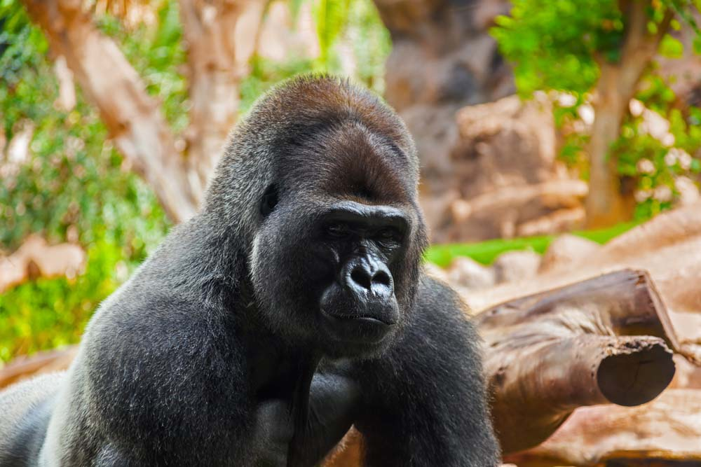 Фото гориллы в Парке обезьян на Тенерифе