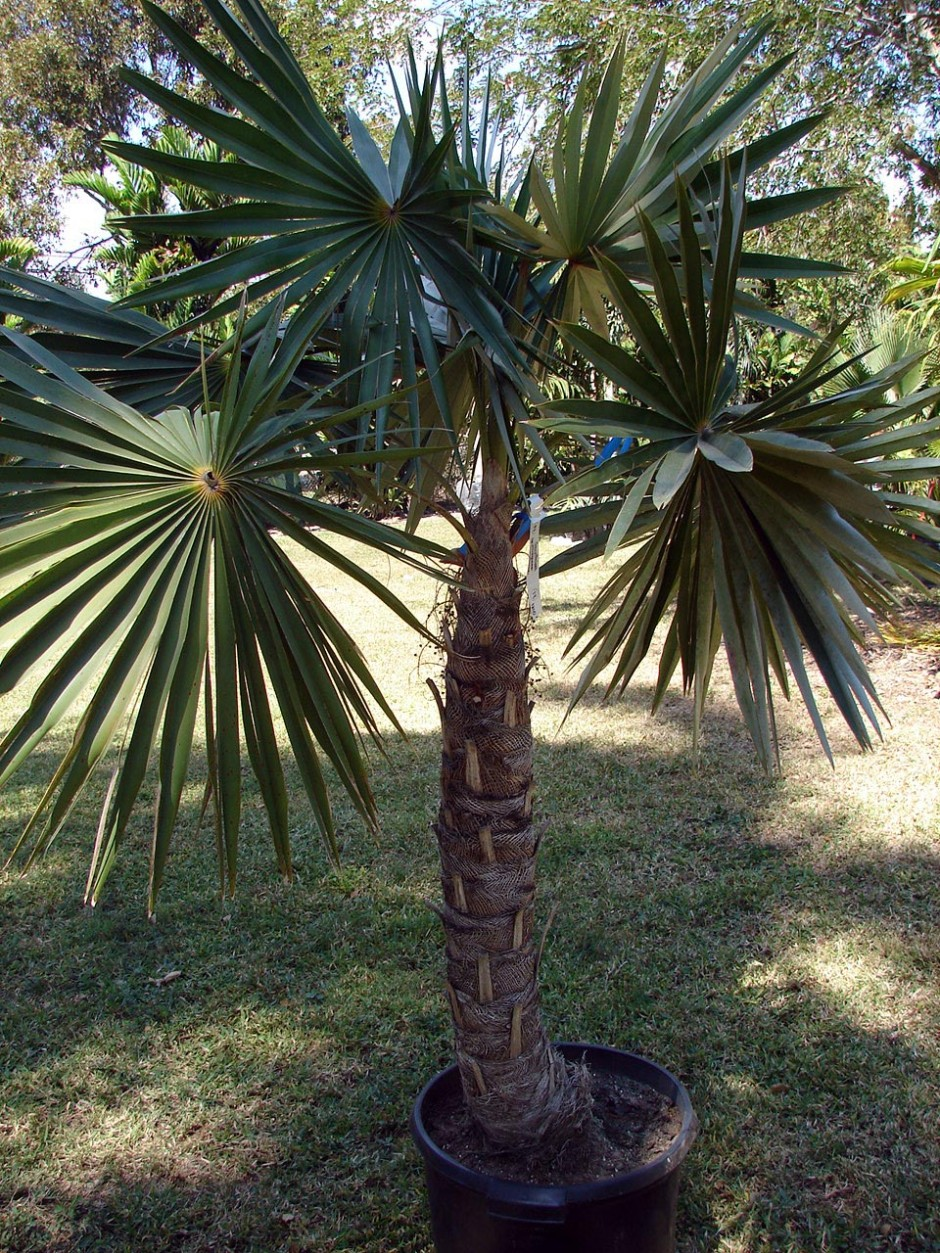 Фото Кубинской Пальмы в Пальметуме Тенерифе (Coccothrinax macroglossa)